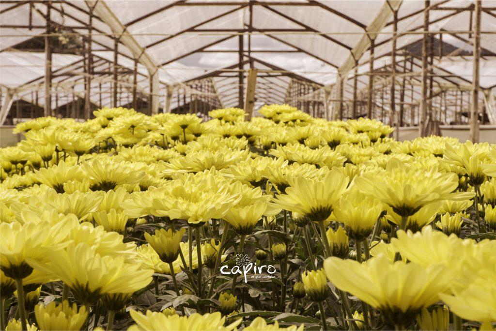 Yellow daysies